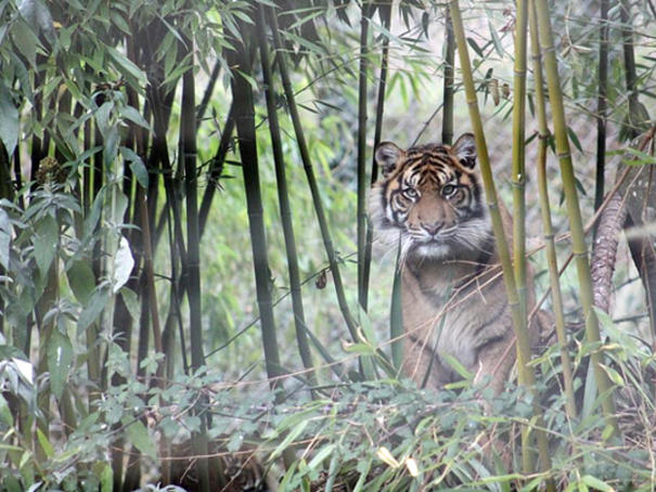 Tigre à la Réserve de la Haute Touche © ADTI