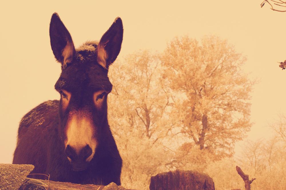 âne grand noir