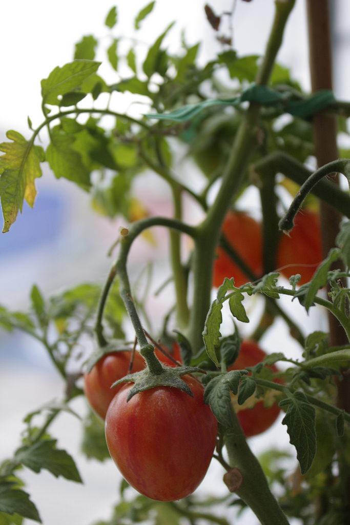 Tomates sur balcon