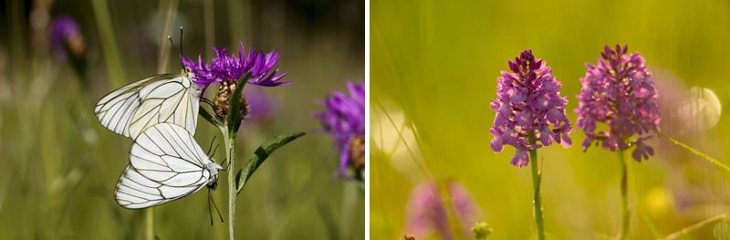 Orchidées et Papillons en Brenne - © HVI