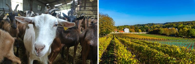 Chèvres et vignobles - © Arnaud Commune, © Teddy Verneuil