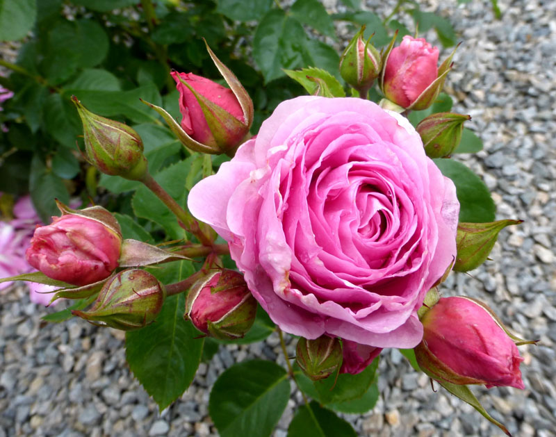 "Rose ""Château d'Azay-le-Ferron"" - © OT Azay-le-Ferron"