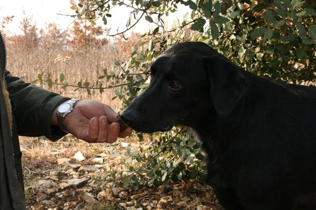 Le meilleur ami de l'homme pour chercher les truffes... - © Droits réservés