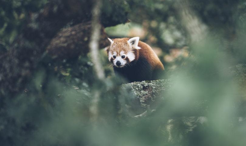 Panda roux ©Bestjobers Max Coquard