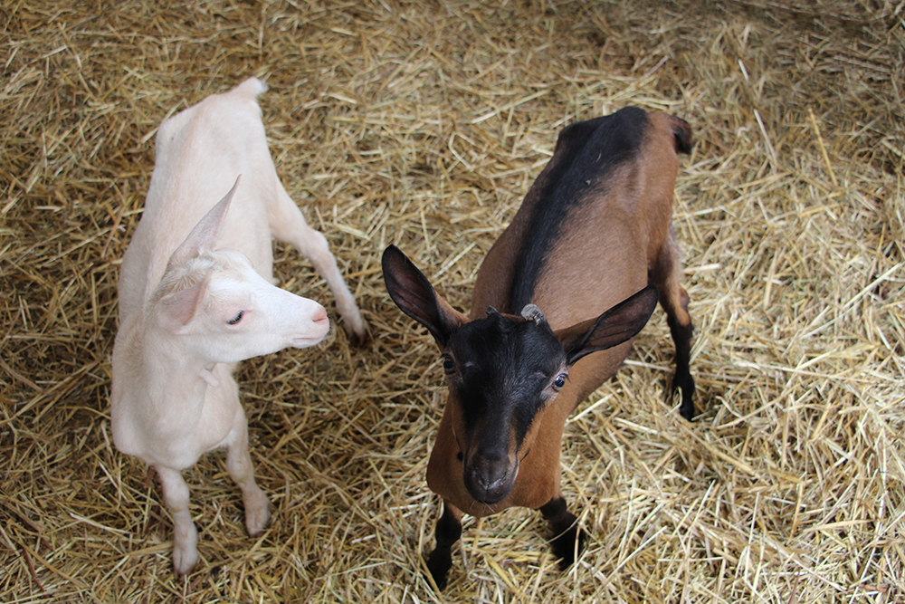 Elevage de chèvres © E. Mary