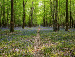 jacinthe sauvage forêt de Châteauroux, mauve, violet