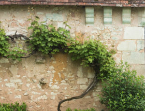 Aux portes de la Touraine – Vigne vierge le long d'un mur