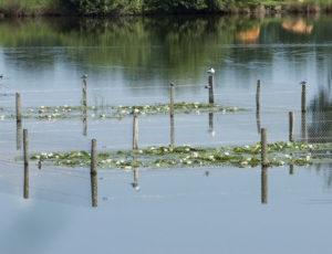 D'un étang à l'autre – Guifette moustac et guiffette noire  sur leur piquet
