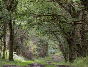 Histoire de Brenne – Chemin bordé de vieux chênes