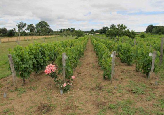 Le sentier de Ferrières – Jeune vigne (plantée en variétés locales)
