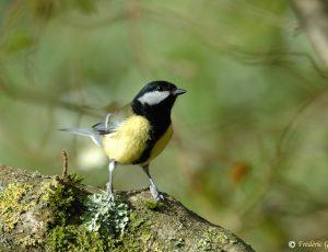 Chants-Oiseaux-Mesange-charbonniere – Stage CPIE Brenne Berry