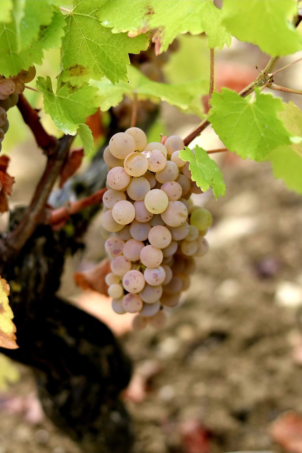 Domaine-Pierre-Martin—Raisins-blancs