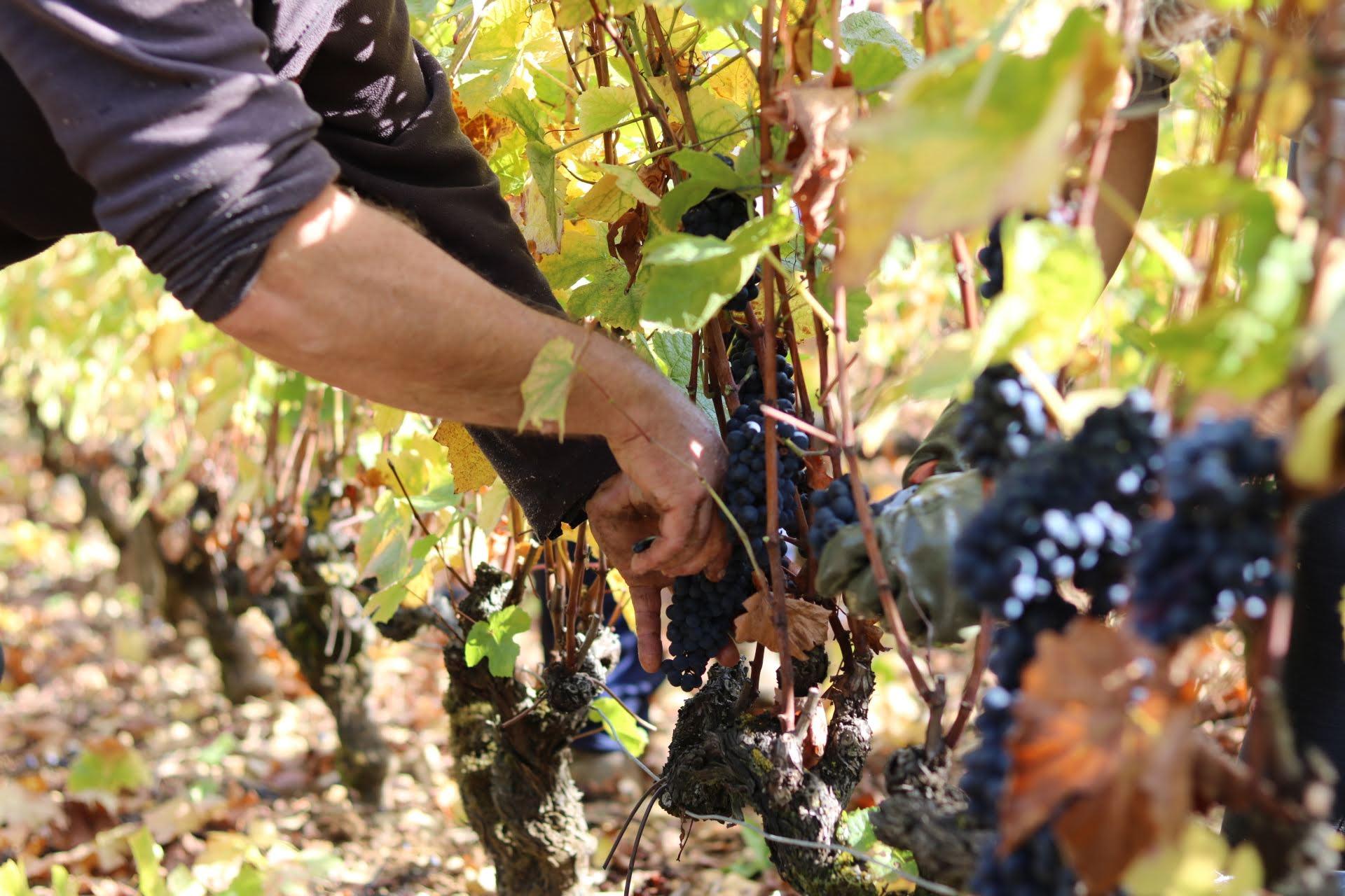 Domaine-Pierre-Martin—Raisins-rouges
