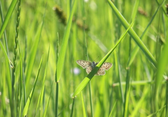 Papillons-Heodes tityrus – Stage CPIE brenne-Berry