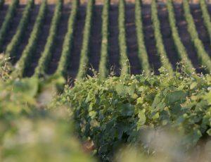 Vignobles Berthier 2