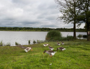 Aux portes de la Brenne – Oies en bord d'étang