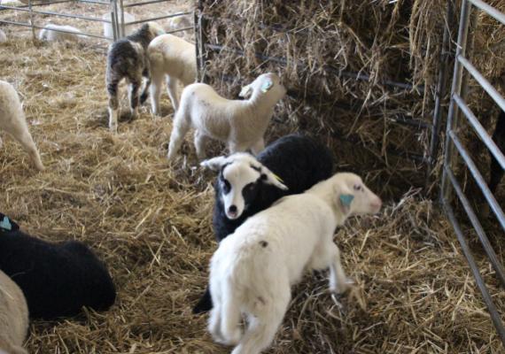 agneaux-lignieres-volailles-600×401