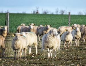 © Les Moutons de Cotron :brebis_au_champs