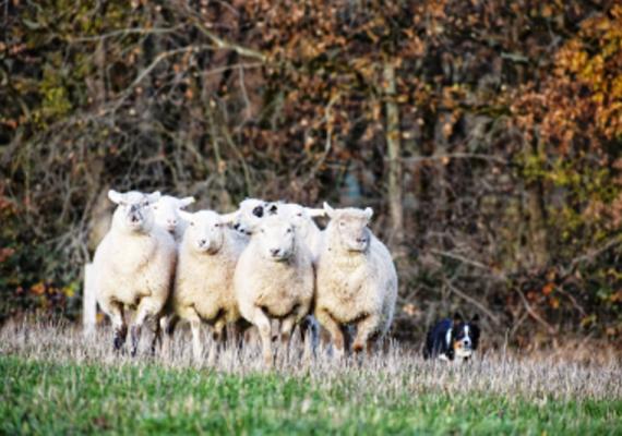 Les Moutons de Cotron :brebis_et_chien
