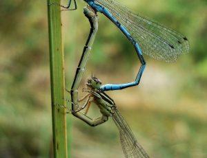 dragonflies – PNR Brenne