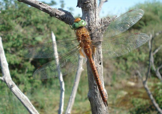 dragonflies–brenne–2-