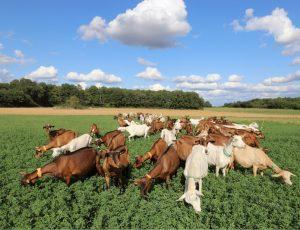 chèvres de la ferme des cabrioles