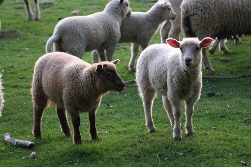 foire à la laine