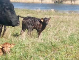Notre élevage de Black Angus