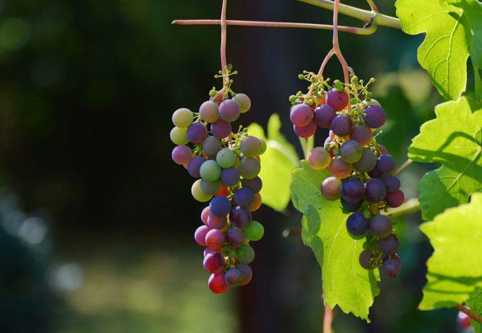 Vigne en Berry