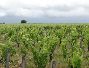 vigne cham